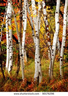 photos of white birch trees in the winter | White fall birch trees with autumn leaves in background - stock photo