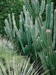 Green Green Cacti