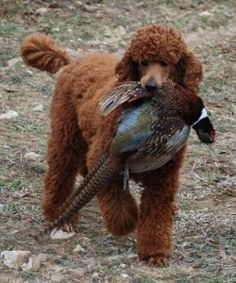My dream! Standard poodle as a gun dog