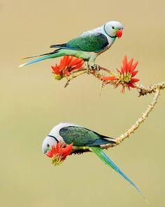 🌿 photo by @ Satisha Sarakki Pretty Birds, Love Birds, Beautiful Birds, Animals Beautiful, Colorful Feathers, Colorful Birds, Bird Feathers, Wild Budgies, Parakeets