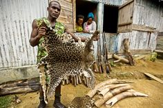 Mba Ndong Marius, a Parcs Gabon Eco Guard, holds up a poached leopard skin in front of a collection of seized elephant tusk ivory and weapons. More than 1,000 rangers worldwide have lost their lives protecting wild places and protected species in the last ten years, according to the WWF.