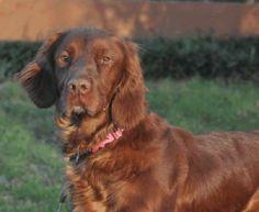 Kate - Irish Setter - 5 yrs old -  Texas Sporting Breed Rescue, Inc. - Denton, TX - http://retrieveafriend.rescuegroups.org/animals/detail?AnimalID=6790108 - https://www.facebook.com/TexasSportingBreedRescue - http://www.petfinder.com/petdetail/28885551/
