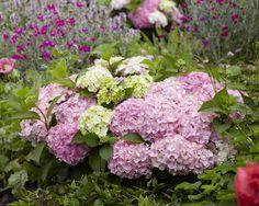 Hydrangea Everlasting® Harmony – Plants Nouveau