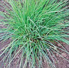 pažitká Jemná Pesto, Herbs, Garden, Plants, Food, Garten, Lawn And Garden, Essen, Herb