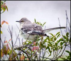 A Little Piece of Me: Mockingbird in the Bush