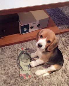 Cute Beagles, Cute Puppies, Dogs And Puppies, Rescue Dogs, Pet Dogs, Dog Cat, Doggies, Puppy Obedience Training, Training Your Dog