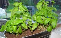 Saviez-vous qu'il était possible de faire repousser à l'intérieur plusieurs légumes et fines herbes à partir des restes que vous avez? Voici 10 légumes que vous pouvez faire pousser à nouveau, question d'avoir de bons produits frais toute l'année!