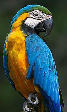 Tropical Birds, Exotic Birds, Colorful Birds, Pretty Birds, Beautiful Birds, Animals Beautiful, Parrot Pet, Parrot Bird, Parrot Wallpaper