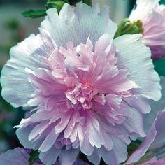 Lilac Dwarf Hollyhock - (Alcea Spring Celebrities Lilac ) - Emerald Coast Growers
