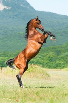 Photo by Vikarus via Deviant Art-This is Angleter, an Arabian stallion.  This is such a beautiful pose!