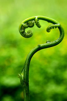 Vegetable fern, via Flickr.