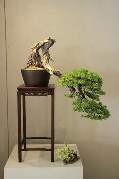 bonsai cascade and accent plant