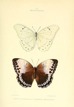 butterflies, old scientific illustration