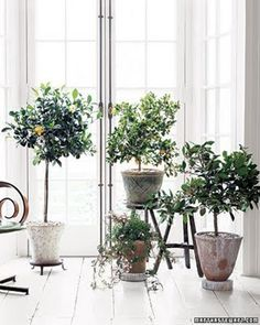 all sorts of info. for growing fruit trees indoors...