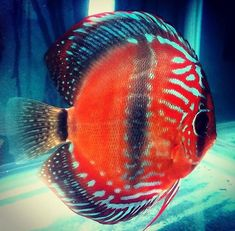 """348 Likes, 11 Comments - @m_cichlid on Instagram: """"#discus#cichlid OWNER:@alexjilek"""""""