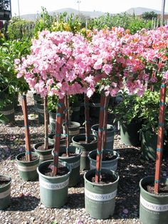 Cottage Farms Tropical Hydrangea Patio Tree | Gardening | Pinterest | Patio  Trees, Hydrangea And Gardens