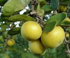 Dovyalis caffra/kai apple