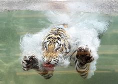 Akasha, a Bengal tiger, dives into the water after a piece of meat on June 20, the first day of summer, at the Six Flags Discovery Kingdom in Vallejo, Calif.
