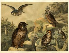 A Natural History owls print from a German Children's Encyclopedia Bird Book, ca 1878.