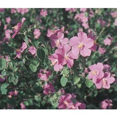 1-Gallon Rock Rose (L11087)