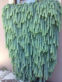 Burro's Tail Houseplant: Growing And Caring For A Burro's Tail Ca