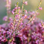 Ρείκι, ένα καλλωπιστικό και μελισσοκομικό φυτό Gardening, Plants, Lawn And Garden, Plant, Planets, Horticulture