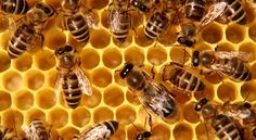 NEWS: The Bee Population is Declining, what can we do?   How to Save the Bees Tips and Ideas by Pioneer Settler http://pioneersettler.com/bee-population-decline-save-the-bees