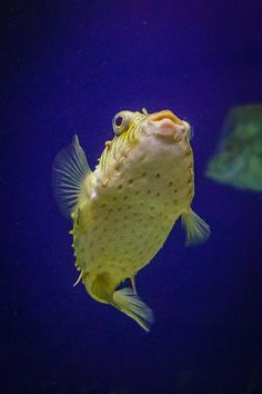 Puffer fish   Flickr - Photo Sharing!
