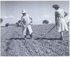 Dyrkningen af roer og kartofler krævede tre gange så meget arbejde som korndyrkning, og de små brug, hvor man ikke målte sin egen arbejdsindsats i timer og slet ikke i penge, anvendte en større del af jorden til rodfrugter. Udtynding og lugning af roerne var den vigtigste, om ikke den eneste, metode til ukrudtsbekæmpelse, så også større gårde, der måtte betale for roearbejdet, havde roedyrkning med i sædskiftet, vekslingen mellem forskellige afgrøder.