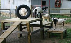 Cute multi-level playground for hours of goat fun! . Save left over lumber from projects & free pallets to make inexpensive goat playgrounds like this one from springsrun.com. (Drill drain holes in bottom of tire so rainwater & mosquito lava can't collect)