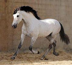 Pura Raza Española stallion, Marmito. photo: Wojtek Kwiatkowski.