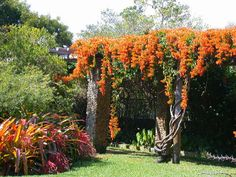 'Orange Trumpet Creeper' or 'Brazilian Flame Vine' (Pyrostegia venusta)