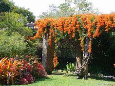 'Orange Trumpet Creeper' or 'Brazilian Flame Vine' (Pyrostegia venusta)