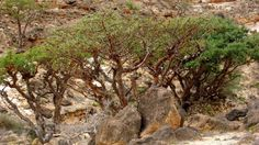 Boswellia sacra trees (frankincense) in Dhofar, southern province of the Sultanate of Oman   (Image: Helen Pickering)