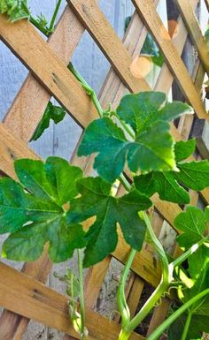Plant squash, bean and cucumber varieties that vine (not bush varieties). Plant these on a trellis.