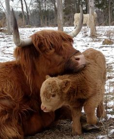 baby animals cute animals adorable animals moo farm animals baby cows highland c… baby animals cute animals adorable animals moo farm animals baby cows highland cows coos Scottish Highland Cow, Highland Cattle, Baby Highland Cow, Scottish Highlands, Beautiful Creatures, Animals Beautiful, Cute Baby Animals, Farm Animals, Funny Animals