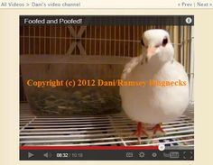 Watch a curious Sara, the female Blond Ivory Ringneck Dove of @DOVEBOOK Member Dani, in the January-February-March 2013 issue!
