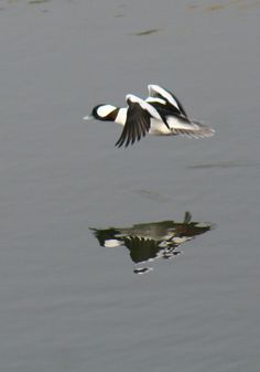 Notice his large white wing patches on the forward edge of his wings. Duck Species, White Wings, Nesting Boxes, Duck Hunting, Birds Of Prey, Taxidermy, Rifles, Large White, Ducks