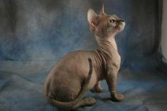 hairless dwarf bambino cats