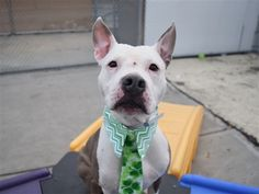 ***TO BE DESTROYED 3/17/18 Asha is at-risk of euthanasia and needs placement. Please consider opening your home today!  Hello, my name is Asha. My animal id is #22316. I am a desexed female white dog at the Brooklyn Animal Care Center. The shelter thinks I am about 3 years 1 weeks old.  I came into the shelter as a stray on 07-Mar-2018.
