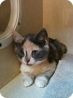 Onto the kitten search : )   This is Trixie, she is 6 weeks old and oh so cute!!!
