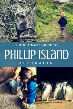Watching the penguin parade on phillip island australia penguin phillip island attractions for families solutioingenieria Image collections
