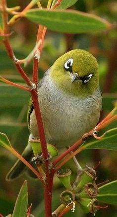 Silvereye in Soap Mallee. Their version of our Cape white-eyes :D Pretty Birds, Love Birds, Beautiful Birds, Animals Beautiful, Cute Animals, Birds 2, Green Birds, Humming Birds, Small Birds