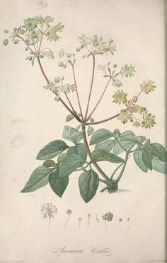 anamenia coriacea      ...