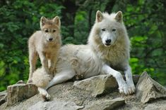 Artic wolf and cub