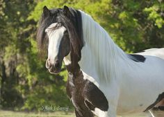1000 images about gypsy vanner on pinterest gypsy gypsy horse and horses. Black Bedroom Furniture Sets. Home Design Ideas