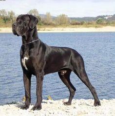 Danois, Dogue Allemand Plus
