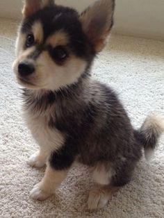 Pomsky puppies for sale! These energetic, fluffy, and lovable Pomsky puppies are a cross between the wolf-like Siberian Husky and Pomeranian dog breeds. Pomeranian Husky Puppies, Pomsky Puppies For Sale, Pomsky Dog, Husky Puppy, Cute Puppies, Cute Dogs, Dogs And Puppies, Doggies, Husky Mix