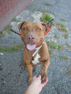 Brooklyn Center KOTKA – A1094631 TO BE DESROYED 11/8**  FEMALE, BROWN / WHITE, AM PIT BULL TER MIX, 1 yr STRAY – STRAY WAIT, NO HOLD Reason STRAY Intake condition EXAM REQ Intake Date 10/24/2016, From NY 11372, DueOut Date10/27/2016