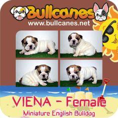 VIENA MINIATURE ENGLISH BULLDOG PUPPIES http://www.bullcanes.net / ceo@bullcanes.net / Facebook: bullcanes1@hotmail.com / instagram: @BULLCANES Bulldog puppies for Sale / Twiter: bullcanes1 / YouTube: Bullcanes Bulldog Kennel